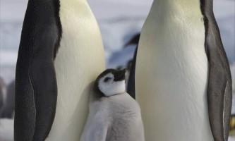 Імператорський пінгвін: опис, фото і відео