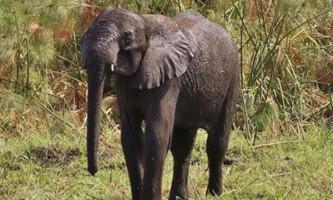 Розлючений натовп закувала в ланцюзі слоненяти, взятого в заручники