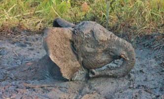 У зимбабве врятували слоненяти, який зайшов за шию в болоті