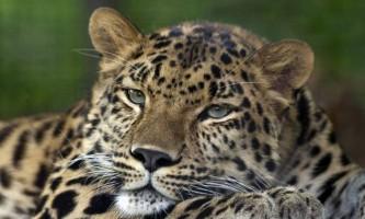 Індійський леопард - велична «кішка»