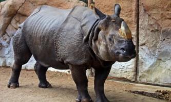 Індійський носоріг: фото ссавця