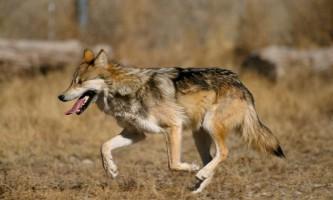 Індійський вовк: фото хижака