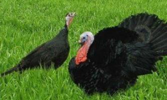 Індички породи чорна тихорецька