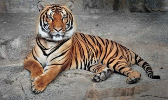 Індокитайський тигр - хижак зі сторінок червоної книги