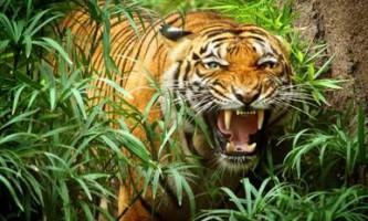 Індокитайський тигр