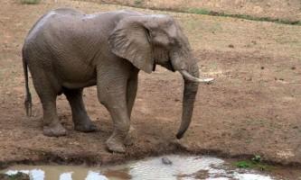 Слон у водопою мало не втратив свій хобот, в який вчепився крокодил
