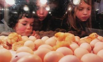 Інкубація яєць в інкубаторі