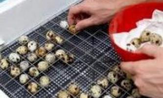 Інкубація перепелиних яєць