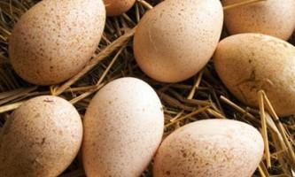 Інкубаційний період висиджування пташенят індички