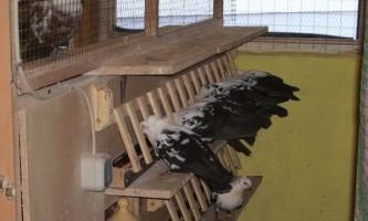 Інструкція застосування лозеваля для голубів