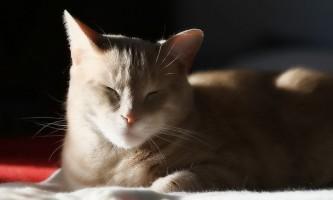 Інсульт у кішок: симптоми і лікування