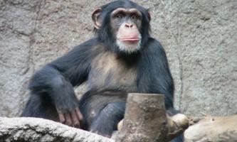 Інтелект шимпанзе передається у спадок