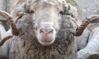 Інтенсивна відгодівля овець