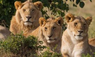 Цікаве про левів: секрети грізних хижаків