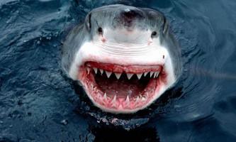 Цікаві факти про білу акулу (лат. Carcharodon carcharias)