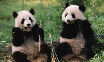 Цікаві факти про великих панд