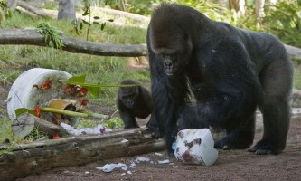 Каченя в гостях у горили