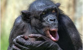 Цікаві факти про карликовій шимпанзе (лат. Pan paniscus)
