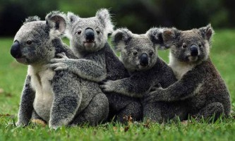 Цікаві факти про коала
