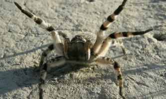 Високі температури роблять павука-птахоїда швидким, але незграбним