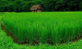 Цікаві факти про рисі