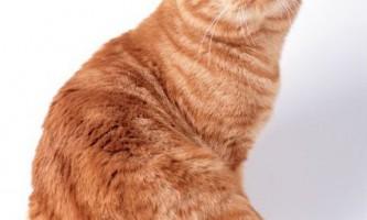 Інтерв`ю: розплідник британських кішок «ель-божеле», елліна болобан