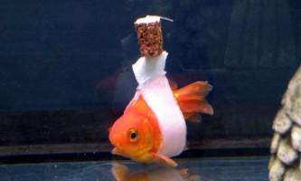 Інвалідне крісло для золотої рибки