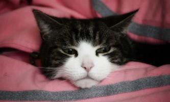 Іпакетіне для кішок: інструкція із застосування