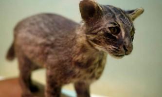 Іpіомотская або японська дика кішка