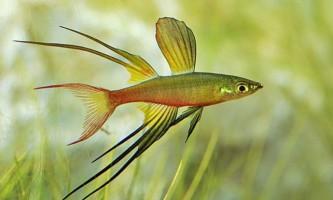 Іріатеріна - незвичайна рибка