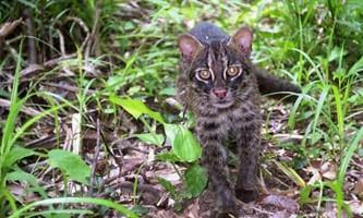 Іріомотський кіт, або іріомотская кішка (лат. Prionailurus bengalensis iriomotensis)