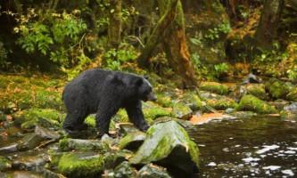 Під час сплячки у ведмедів включаються потужні оздоровчі системи