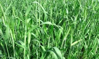 Використовуємо жито як сидерат