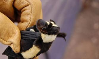 Дослідники виявили кажана-панду