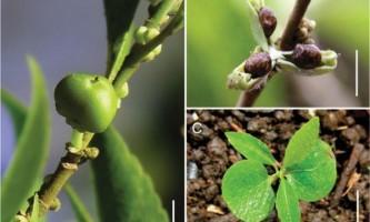 Дослідники виявили рослина, здатне акумулювати нікель