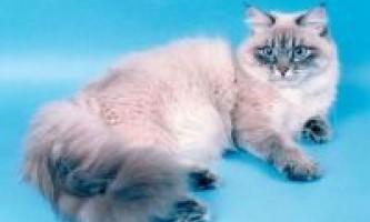 Історія невської маскрадной породи кішок