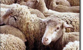 Історія розвитку тонкорунного вівчарства в росії