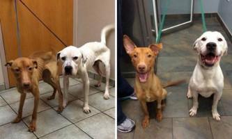 Виснажені собаки з чикаго - оскар і еммі вижили завдяки турботі ветеринарів