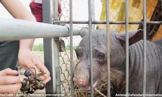 З африканського цирку врятували лису покалічену ведмедицю