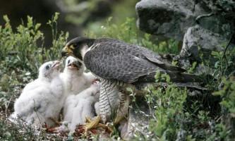 З гнізда в національному парк-центрі сеттон бенк зникли сапсани