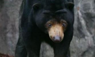 З південнокорейського зоопарку втік ведмідь