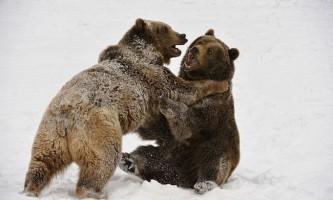 З життя тварин: ведмежа боротьба