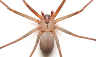 Зміна клімату може збільшити кількість отруйних павуків