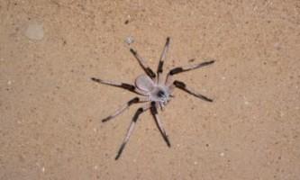 Ізраїльські вчені знайшли в пустелі новий вид гігантських павуків