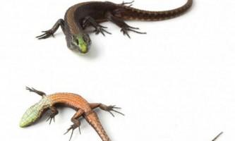 Смарагдово-зелена ящірка виявлена в еквадорі