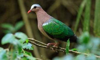 Смарагдовий голуб - зеленокрилий птах