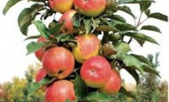 Яблуні колоноподібні