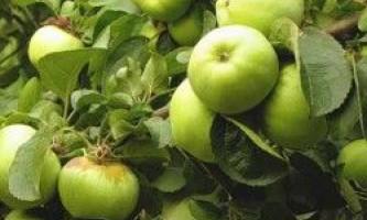 Яблуня антонівка