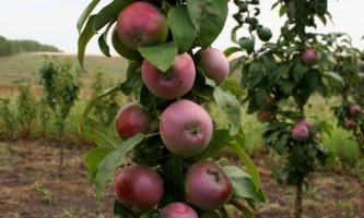 Яблуня колоновидна: посадка і догляд