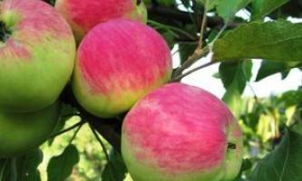 Яблуня мантет